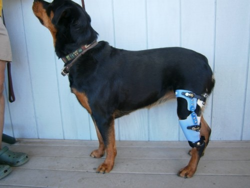 Can Dogs Recover From Acl Without Surgery